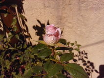 Rose Symbol of LOVE Stock Photos