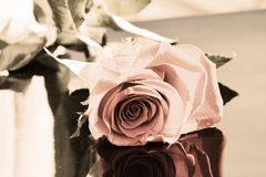 Rose, symbol of passion Royalty Free Stock Image