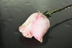 Rose, symbole de la délicatesse images stock