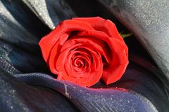 Rose, symbole de passion Photos stock