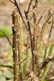 rose taggar för buske Fotografering för Bildbyråer