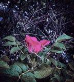 rose taggar royaltyfri fotografi