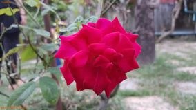 Rose tailandesa Imagen de archivo libre de regalías