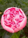 Rose Tantau royalty-vrije stock fotografie