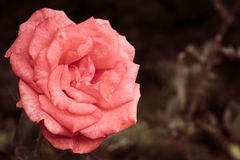 rose tappning Arkivfoton