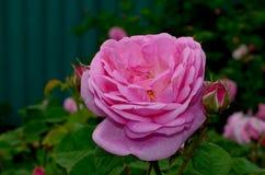 rose tea Arkivfoton