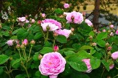 rose tea Arkivbild