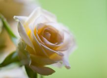 Rose ( tender - soft ). A small tender cream colored rose with the petals fading Royalty Free Stock Image