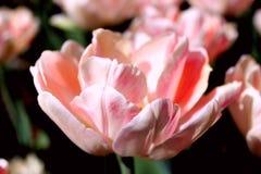 Rose tender tulip. In the spring garden stock photos