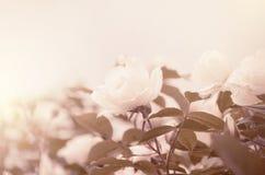 Rose Tenderness Royalty Free Stock Photos