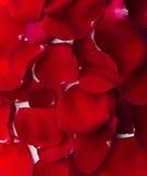 rose textur för bakgrundspetals Royaltyfri Fotografi