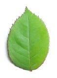 rose textur för leaf Royaltyfri Bild