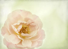 Rose with texture Stock Images