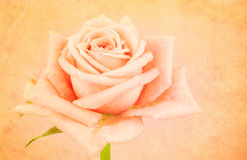 Rose with texture and water droplets Stock Photography