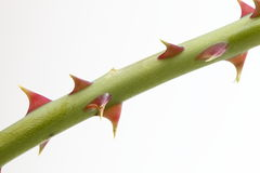 Rose thorn Royalty Free Stock Image