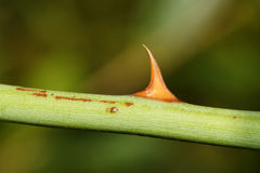 Rose thorn Royalty Free Stock Images