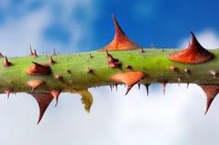 Free Rose Thorns Stock Image - 362491