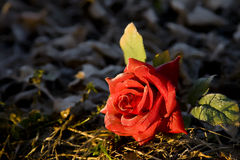 Rose among thorns Royalty Free Stock Images