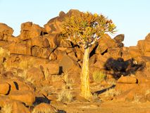 Rose among thorns: quiver tree amidst rocks stock photography