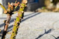 Rose Thorns Stock Photo