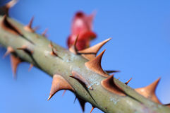 Rose thorny stem Stock Images