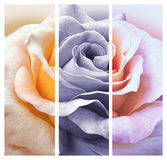 Rose in three colours design Stock Photo