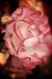 Rose Tip roja macra Fotografía de archivo libre de regalías