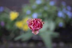 Rose a tiré d'en haut photographie stock libre de droits