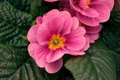 Rose tirée à quatre épingles rose sur un fond vert-foncé photographie stock