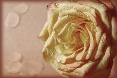 Rose with the torn off petals. In retro style royalty free stock photos