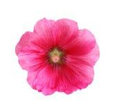 Rose trémière image stock