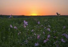 Rose trémière au coucher du soleil Images stock