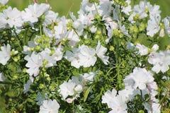 Rose trémière blanche Image libre de droits