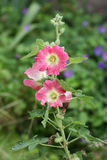Rose trémière en le rose et le rouge Photo libre de droits