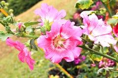 Rose trémière rose Photographie stock