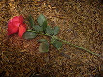 A Rose Trampled on the Ground. Christian symbolism-'A rose trampled on the ground stock photography