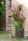 Rose tree at the building corner Royalty Free Stock Images