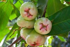 rose tree för äpple Arkivfoto