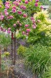 Rose tree Stock Photo