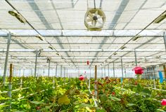 Rose tree grow in modern greenhouse under artificial growlight. Closeup on Rose tree grow in modern greenhouse under artificial growlight stock photo