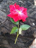 ROSE on tree stock photo