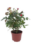Rose tree in a pot Royalty Free Stock Photo