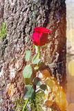 Rose on tree trunk Stock Photo