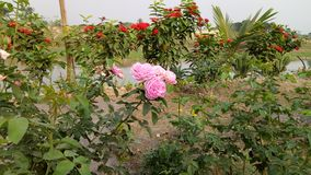 Rose in the trees, The flowers in a beautiful garde, royalty free stock images