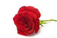 Rose trennte über Weiß Stockfotos