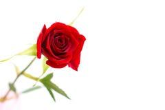 Rose trennte auf einem weißen Hintergrund lizenzfreies stockfoto