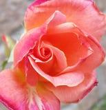 Rose tricolora Fotografía de archivo libre de regalías