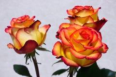 Rose trois avec le plan rapproché de roses jaunes Images stock