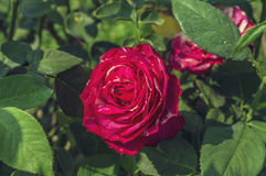 Rose tropicale Photographie stock