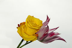 Rose with tulip Stock Photography